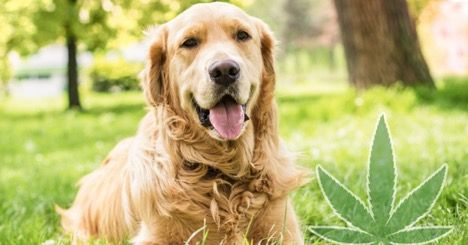 How To Determine The Right Dosage Of CBD Oil For Your Pet Dogs
