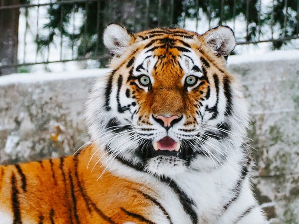 """The Big Cat Safety Act: How """"Tiger King"""" Brought to Light America's Big Cat Problem"""