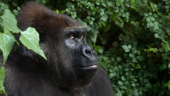 Great Apes, Great Adventure