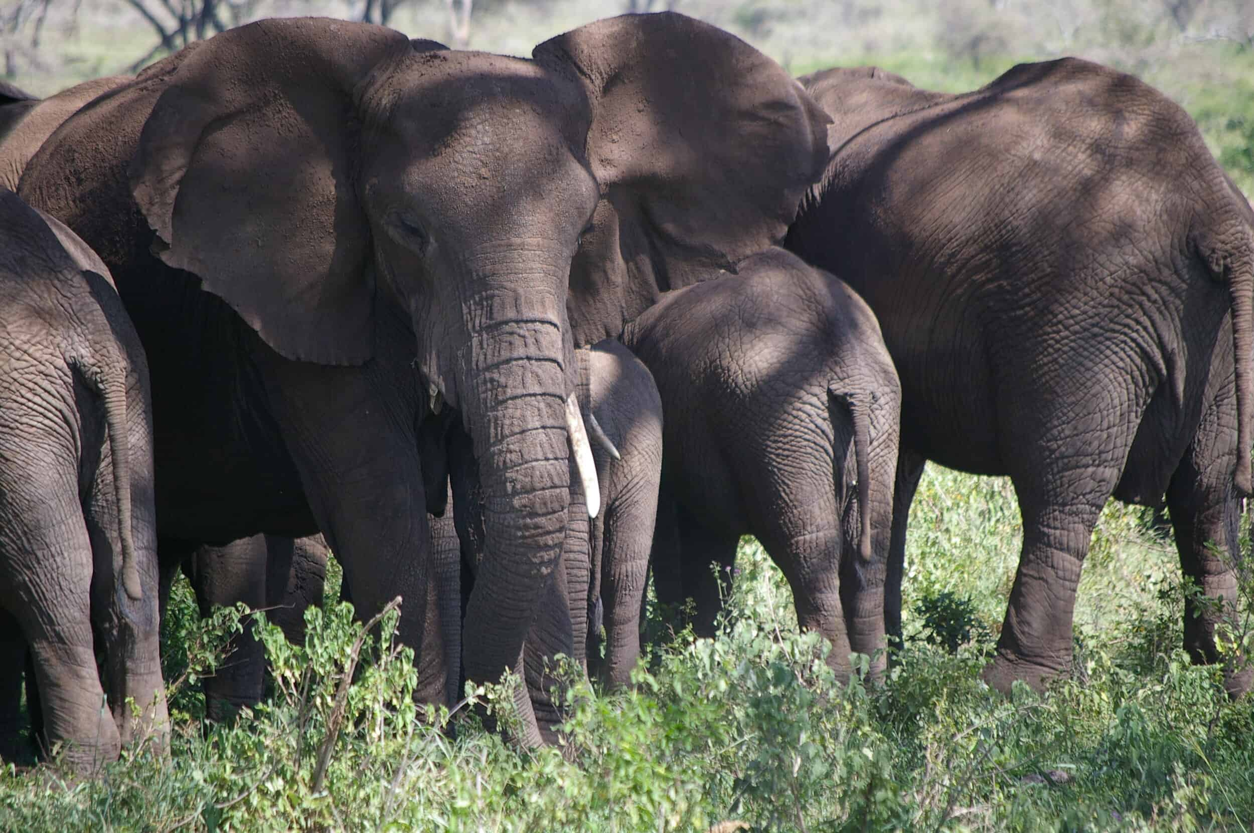 Irony and Ivory: Trump to Repeal Elephant Trophy Hunting Ban
