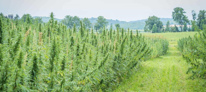 Hemp Resurrected: A Paradigm Shift in Industrial Cannabis