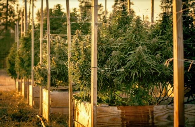 A row of growing cannabis.