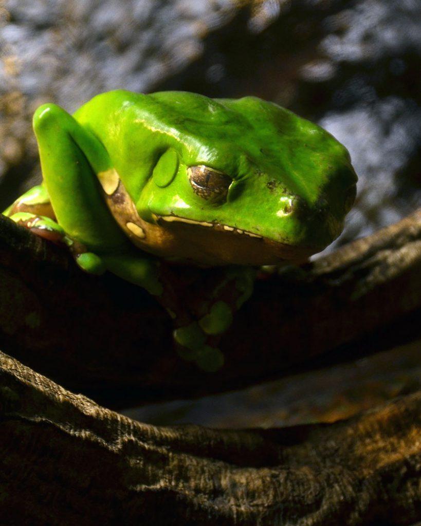 Giant leaf frog (Phyllomedusa bicolor).